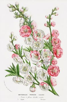 Amygdalus Persica versicolor from Floral Prints of Roses, Violet, Peach, Passion Flower from Van Houtte 1845