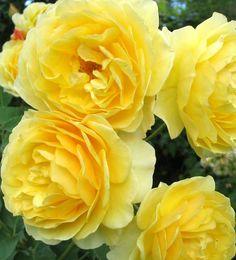 yellow garden roses.