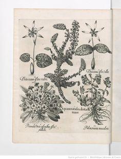 Hortus Eystettensis via gallica bnf.fr