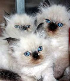 3 himalayan cats Looks like Taylor when he was a baby