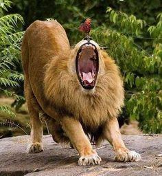Funny Wildlife, funnywildlife: Lion Epic Yawn!!