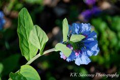Virginia Bluebells in Spring