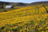 Places to see wildflowers in the Columbia River Gorge between Oregon and Washington