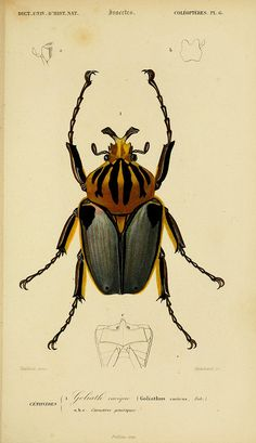 Goliath beetle illustration from Dictionnaire Universel d'Histoire Naturelle, Atlas: v.2, Ed.2, by Charles Orbigny, 1861
