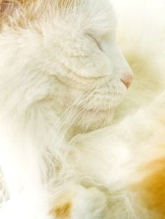 b5e38b599b My insane Turkish Van mutt Lily has made me fall in love with this breed.  They are total nut jobs and so breathtakingly beautiful cats.