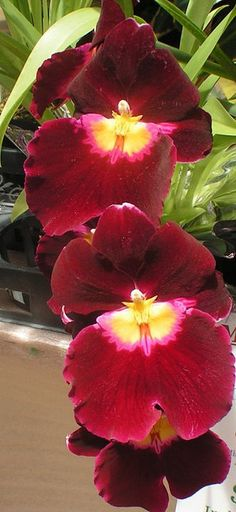 Orchids - a rare combination of burgandy with yellow throats. They almost resemble faces.