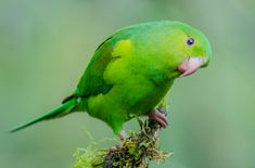 The Plain Parakeet is popular for its affectionate personality, goofy behavior, and adorable looks. Green Parakeet, Parakeet Bird, Bird Breeds, Pretty Birds, Creature Design, Animal Drawings, Parrot, Character Design, Creatures