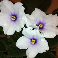 Optimara African Violets grown by G&E Greenhouses
