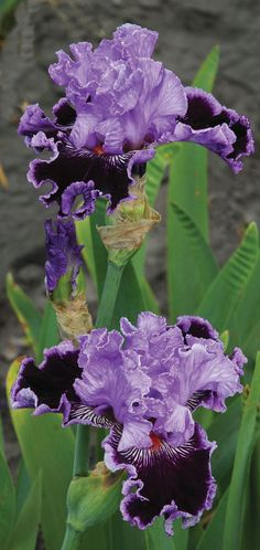 TALL BEARDED IRIS By Jeeves Likes hot dry summers and cold frosty winters.