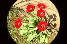 Tulipani.
