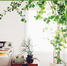 ficus triangularis