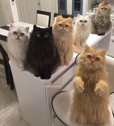 12 gatos persas em uma casa