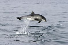 A breaching bottle nose dolphin