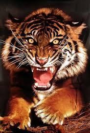 Resultado de imagem para angry tigers