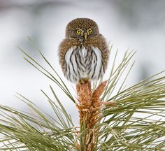 Northern Pygmy-owl by Danner Bradshaw - much more pins on: http://pinterest.com/efstucson/owls-and-such/