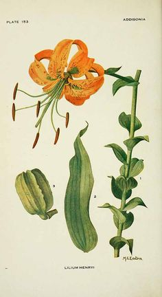 Lilium henryi - circa 1919