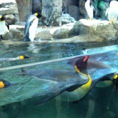 Calgary zoo Calgary, Penguins, Spaces, Animals, Animales, Animaux, Penguin, Animal, Animais