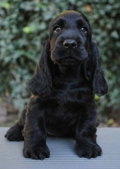 A list of the cutest black cocker spaniel pictures. Are you in the mood to see some adorable photos of black cocker spaniels? This is a list of some of the cutest black cocker spaniel photos. Perro Cocker Spaniel, American Cocker Spaniel, English Cocker Spaniel Puppies, English Spaniel, Cute Puppies, Cute Dogs, Dogs And Puppies, Doggies, Cockerspaniel