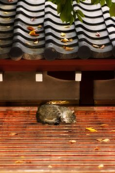 Stray cat sleeping on Japanese roof tiles