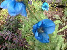 Takalo-Roppolan puutarha- ja mansikkatila: PERENNAT Poppy, Plants, Blog, Blogging, Plant, Poppies, Planets