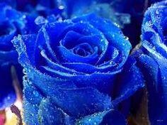 Kết quả hình ảnh cho hoa hong xanh
