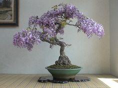 wysteria bonsai
