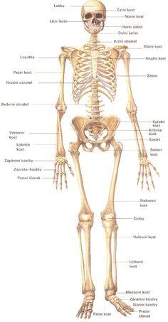 Soustava kosterní :: Lidské tělo   článek
