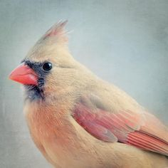 Fine art bird portrait photography print of a beautiful female cardinal by Allison Trentelman.
