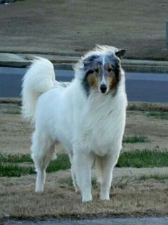 White Rough Collie with Blue Merle markings