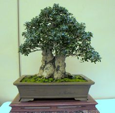 Image result for wild olive bonsai