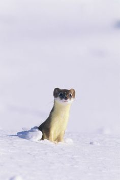 """A short-tailed weasel caught by an early snow in its summer colors."" by National Geographic"
