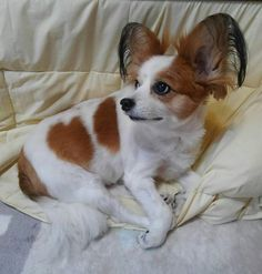 #愛犬 #いぬ#わんこ #dog #perro #パピヨン #papillon #ハート犬