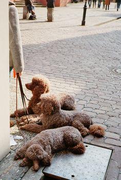 Poodles <3