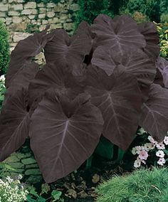 Black Elephant Ears - have a place for these...