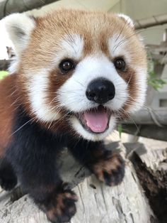 The most photogenic red panda. - The most photogenic red panda. The most photogenic red panda. Cute Little Animals, Cute Funny Animals, Happy Animals, Animals And Pets, Animals Planet, Wild Animals, Tier Fotos, Cute Creatures, Animal Memes