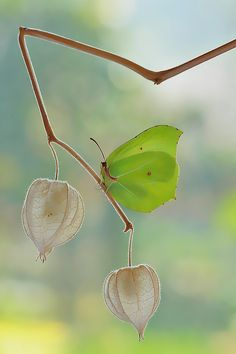 Gonepteryx rhamni (known as the Common Brimstone) is a butterfly of the Pieridae family. It lives in Europe, North Africa and Asia.