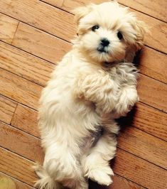 Dogs are said to be some of the best pets to keep. As a matter of fact, they are referred to as man's best friends. There are many breeds of dogs Cute Baby Animals, Animals And Pets, Funny Animals, Cute Puppies, Cute Dogs, Dogs And Puppies, Doggies, Bear Dogs, Poodle Puppies