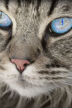 Blue Eyed Grey Tabby Cat                                                                                                                                                                                 More