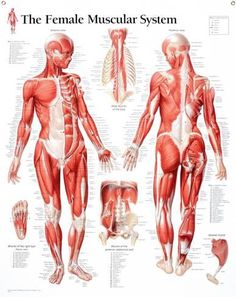 Human body diagram photo of human body anatomy you can download laminated poster laminated muscular system female educational chart poster 28x22in ccuart Image collections