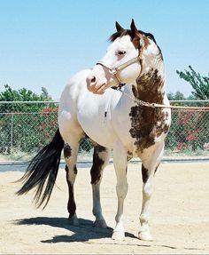 Paint Horse stallion Gotta Wear Shades