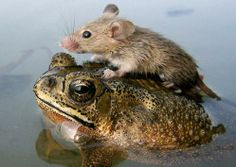 A mouse rides on the back of a frog in floodwaters in the northern Indian city Lucknow June 30, 2006.