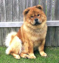 Cant wait to have a chow chow again!