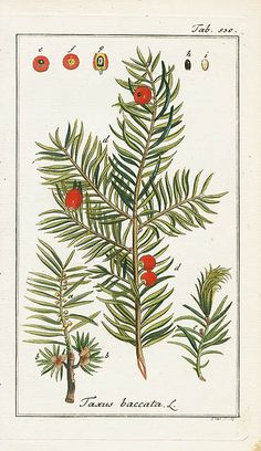 Taxus baccata, Yew from Sepp &Zorn Tree, Cooking Herbs, Ferns 1796 Vintage Botanical Prints, Antique Prints, Botanical Art, Illustration Botanique, Botanical Illustration, Taxus Baccata, Plant Painting, Language Of Flowers, Floral Illustrations