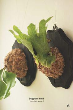 Staghorn Fern {  Platycerium wandae }