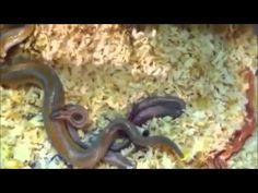 Cría Rosy Boa Python y el apareamiento CALIENTE