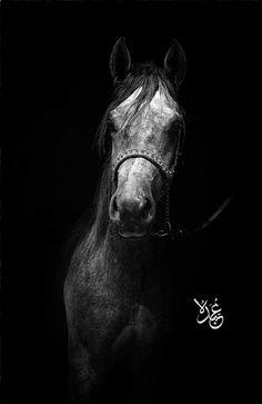 Arabian Morgan western national show horse equine equestrian