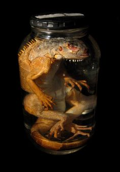 rexyoung:    Preserved orange iguana. (from my collection of oddities)