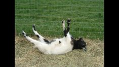 And maybe a couple of these, just because 😄😆. No way can you have a bad day when you have a fainting goat. You're po'ed? Go out and mess with the goats, instant stress reliever 😂🤣! Best of Fainting Goats Cute Funny Animals, Cute Baby Animals, Farm Animals, Cute Goats, Funny Goats, Funny Farm, Fainting Goat, Raising Goats, Goat Farming