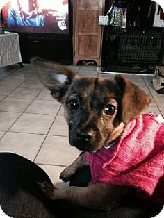 Keyport, NJ - Terrier (Unknown Type, Medium)/Chihuahua Mix. Meet Princess Martina, a dog for adoption. http://www.adoptapet.com/pet/12191770-keyport-new-jersey-terrier-unknown-type-medium-mix