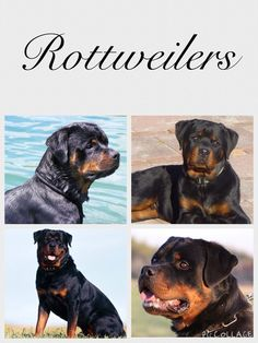 Rottweiler love!